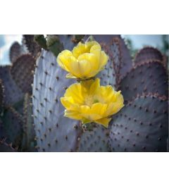 Purple Prickly Pear Cactus Blossoms #2
