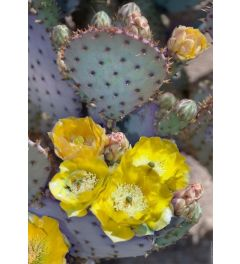 Purple Prickly Pear Cactus Blossoms
