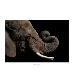 African Elephant Art Print National Geographic 50x70cm