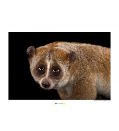 Bengal Slow Loris Art Print National Geographic 50x70cm