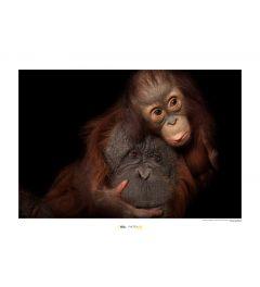 Bornean Orangutan Art Print National Geographic 50x70cm