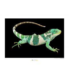 Fiji Banded Iguana Art Print National Geographic 50x70cm