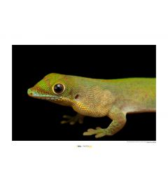 Flat-tailed Day Gecko Art Print National Geographic 50x70cm