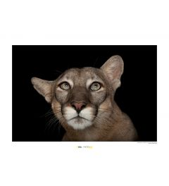 Florida Panther Portrait Art Print National Geographic 50x70cm