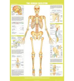 Chartex Skeleton Poster 61x91,5cm