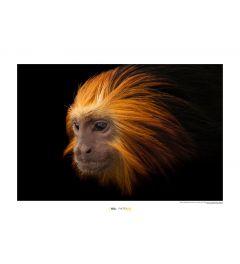 Golden-headed Lion Tamarin Art Print National Geographic 50x70cm