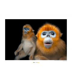 Golden Snub-nosed Monkey Art Print National Geographic 50x70cm