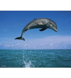 Dolphin Leaping Poster 40x50cm