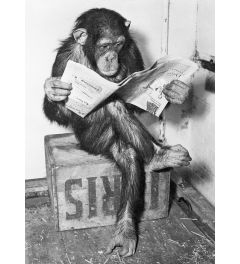 Chimpanzee Reading Newspaper Poster 61x91.5cm