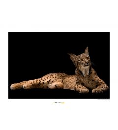 Iberian Lynx Art Print National Geographic 50x70cm