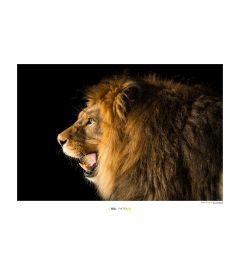 Lion Art Print National Geographic 50x70cm