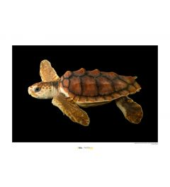 Loggerhead Sea Turtle Art Print National Geographic 50x70cm