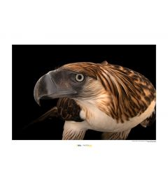 Philippine Eagle Art Print National Geographic 50x70cm