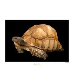 Ploughshare Tortoise Art Print National Geographic 50x70cm