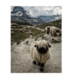 Swiss Sheep Art Print