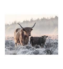 Scottish Highlander With Calf Art Print