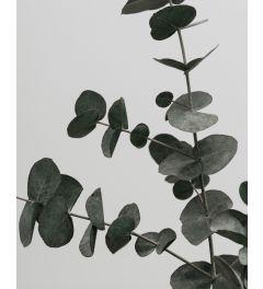 Eucalyptus 2 Art Print