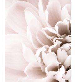 Chrysanthemum 1 Art Print