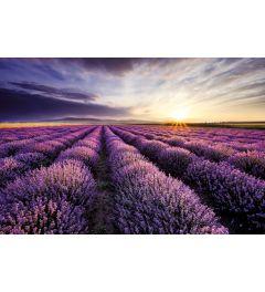Lavender Field Sunset Poster 61x91.5cm