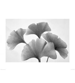 Ginkgo Fan in Black and White Art Print Dennis Frates 60x80cm