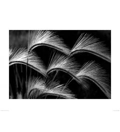 Grass Curls in Black and White Art Print Dennis Frates 60x80cm