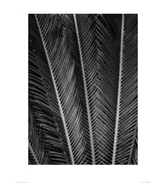 Sago Fan in Black and White Art Print Dennis Frates 60x80cm