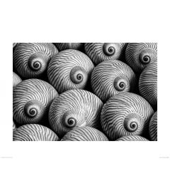 Striped Moon Shell in Black and White Art Print Dennis Frates 60x80cm