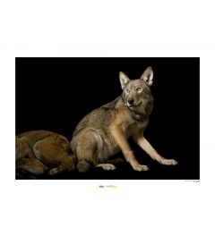 Red Wolf Art Print National Geographic 50x70cm