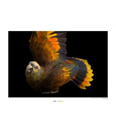 St. Vincent Parrot Art Print National Geographic 50x70cm