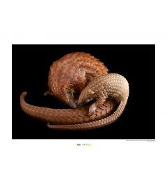 White Bellied Pangolin Art Print National Geographic 50x70cm